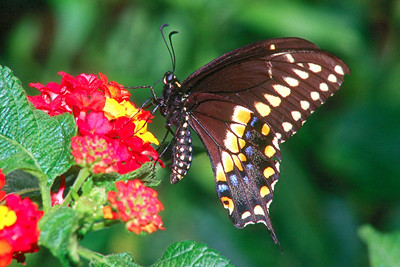 Black Swallowtail - Pittsburgh, Pennsylvania