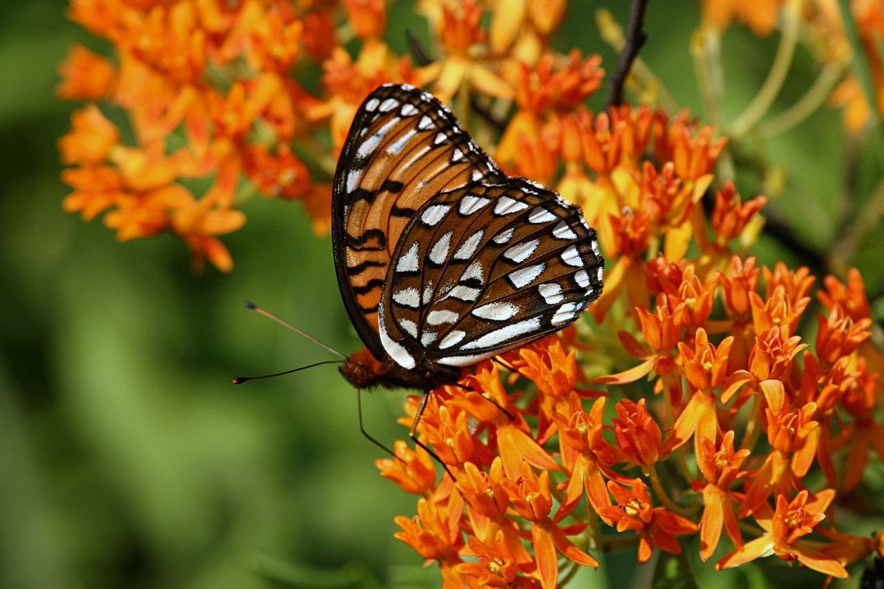 Regal Fritillary, male - Ft. Indiantown Gap, Pennsylvania
