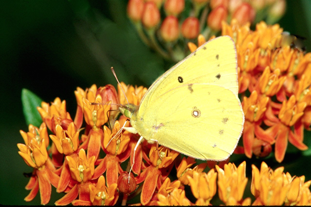Orange Sulphur - South Park, Pennsylvania
