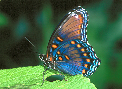 Red-spotted Purple - South Park, Pennsylvania