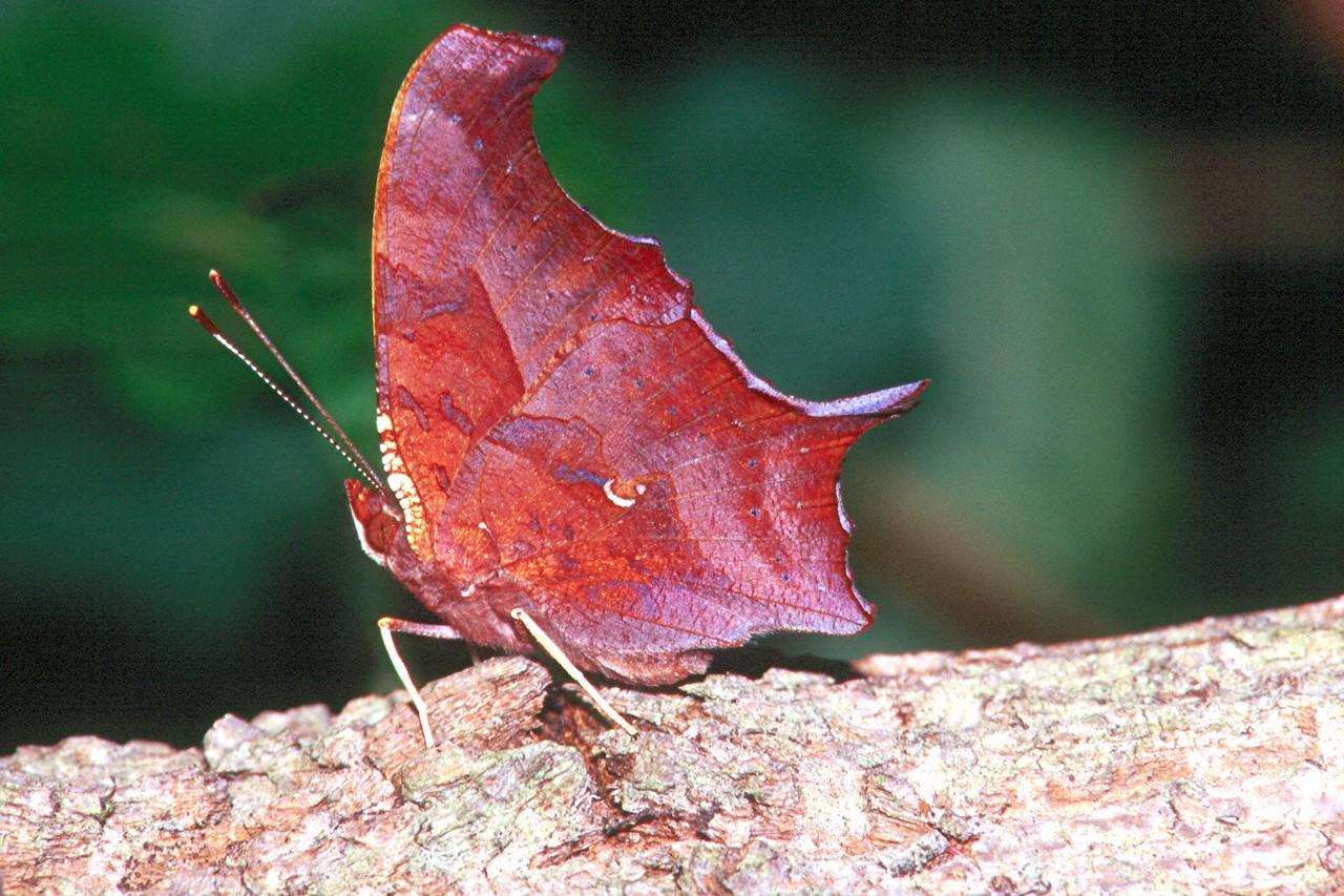 Question Mark, fall form - Mingo Creek, Pennsylvania