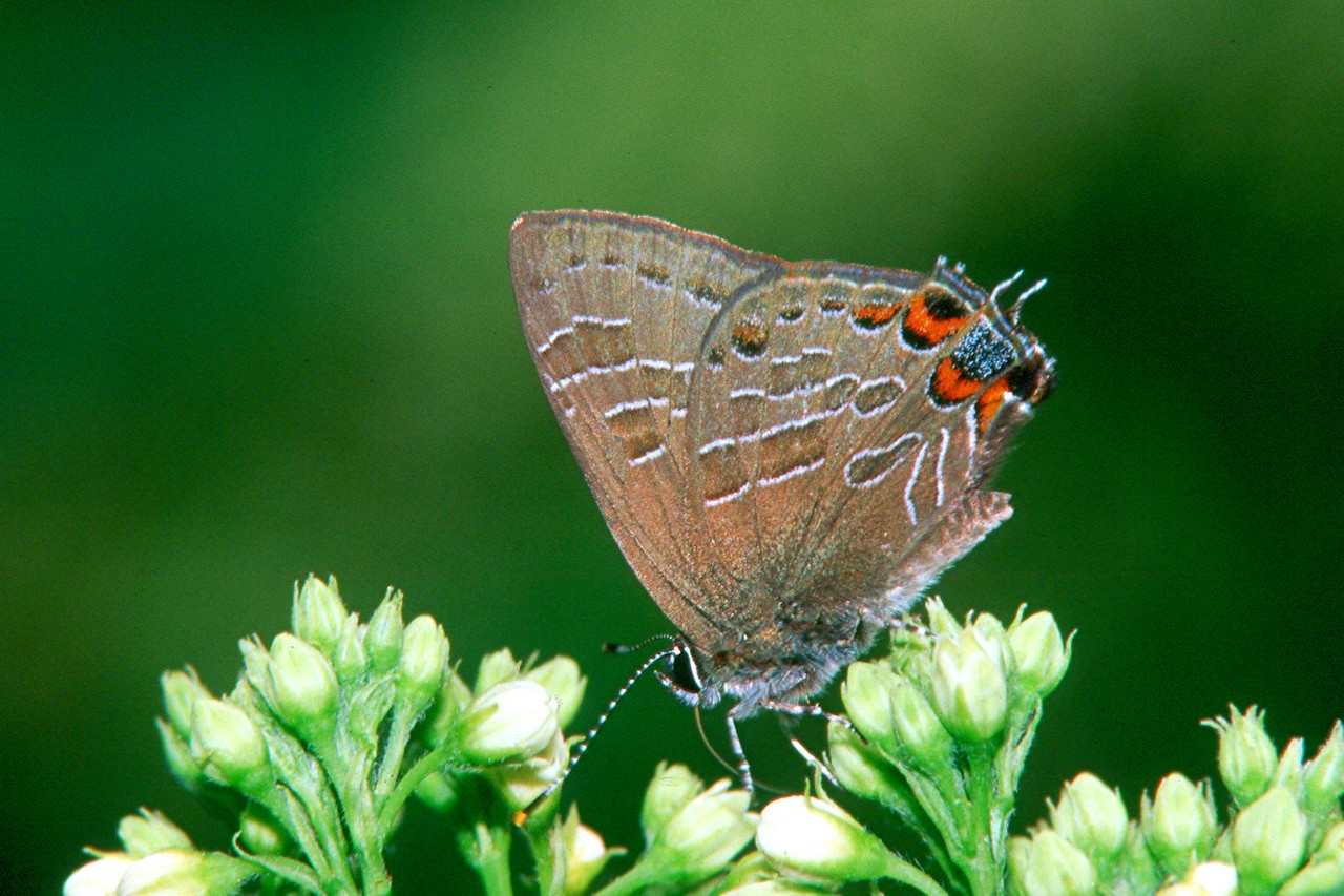 Striped Hairstreak - South Park, Pennsylvania