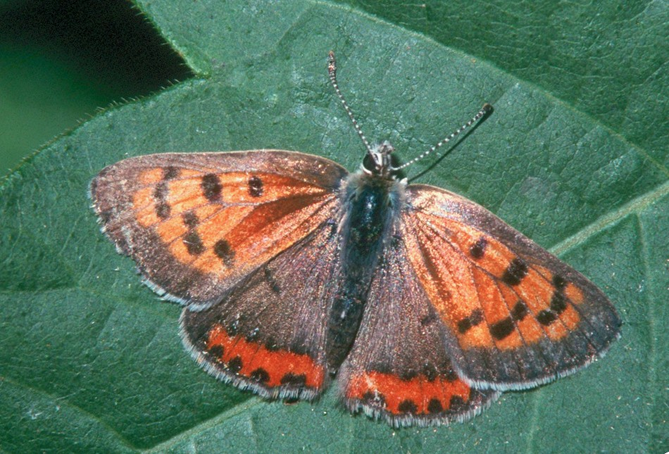 American Copper - Peters Creek, Pennsylvania