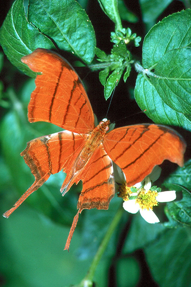 Ruddy Daggerwing - Davie, Florida