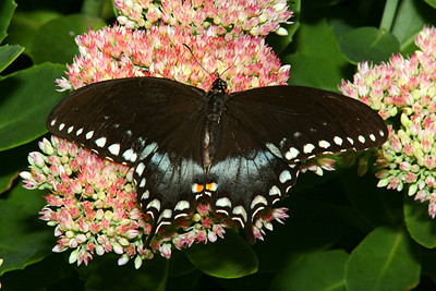 Spicebush Swallowtail, male - Pittsburgh, Pennsylvania