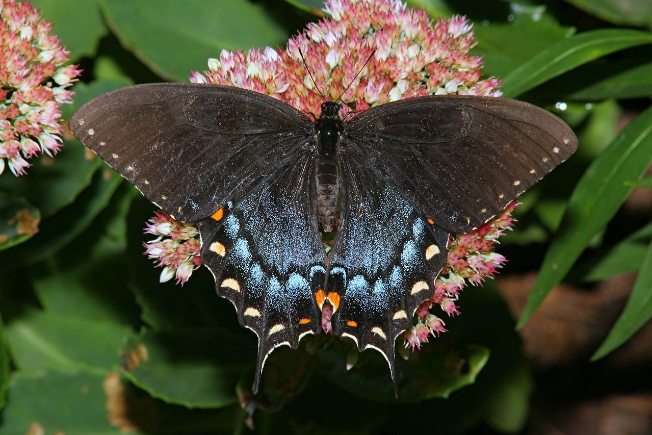 Eastern Tiger Swallowtail, dark female - Pittsburgh, Pennsylvania