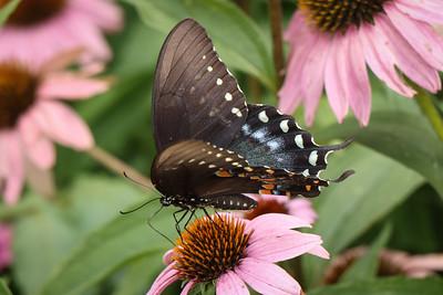 Spicebush Swallowtail, male - Pennsylvania