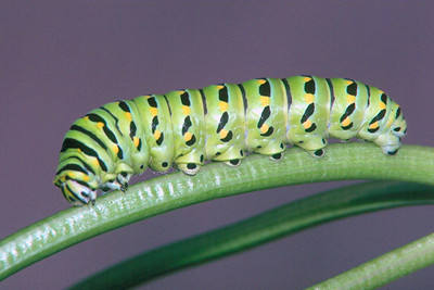 Black Swallowtail Caterpillar - Pittsburgh, Pennsylvania