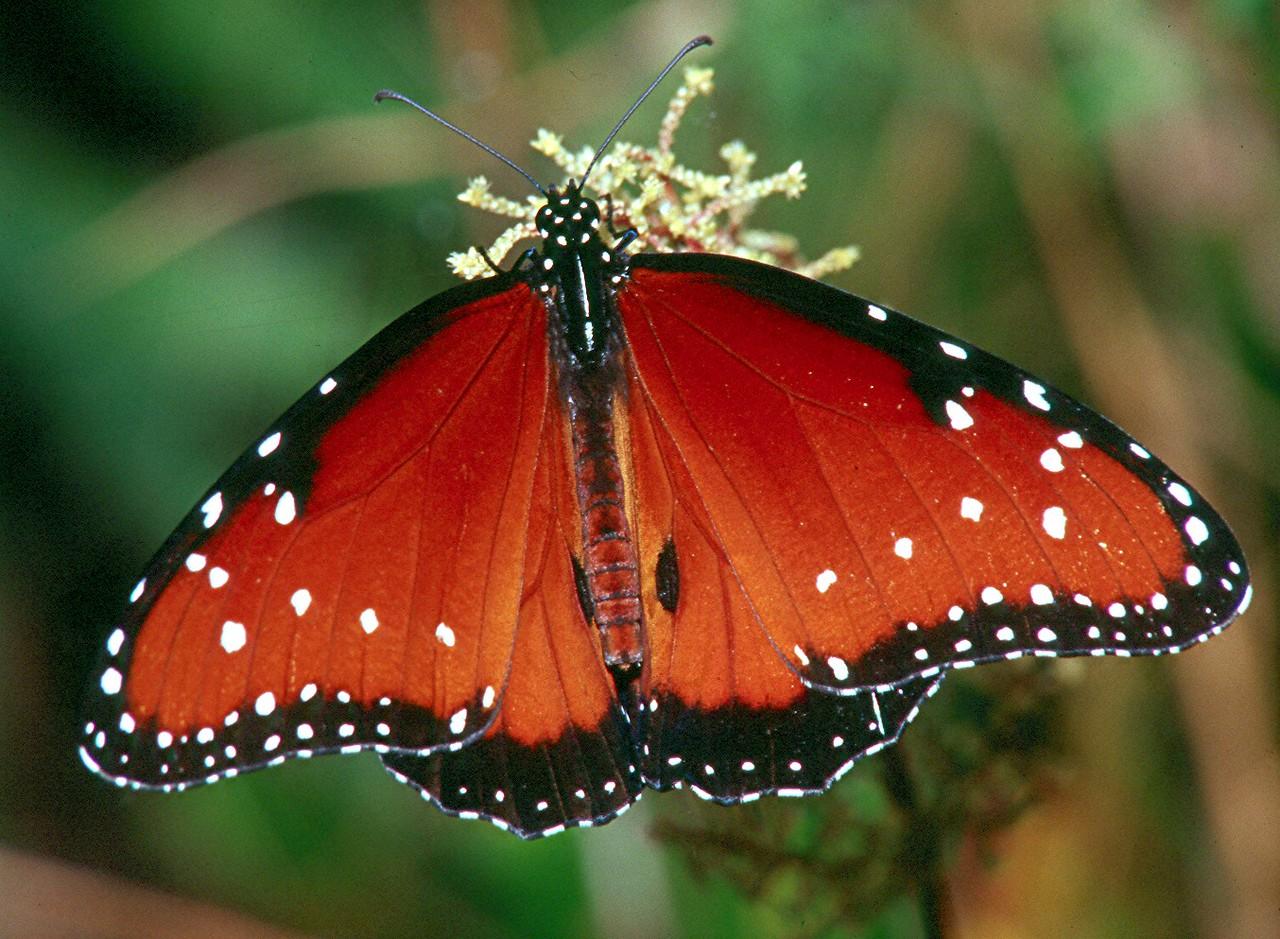 Queen - Loxahatchee National Wildlife Refuge, Florida