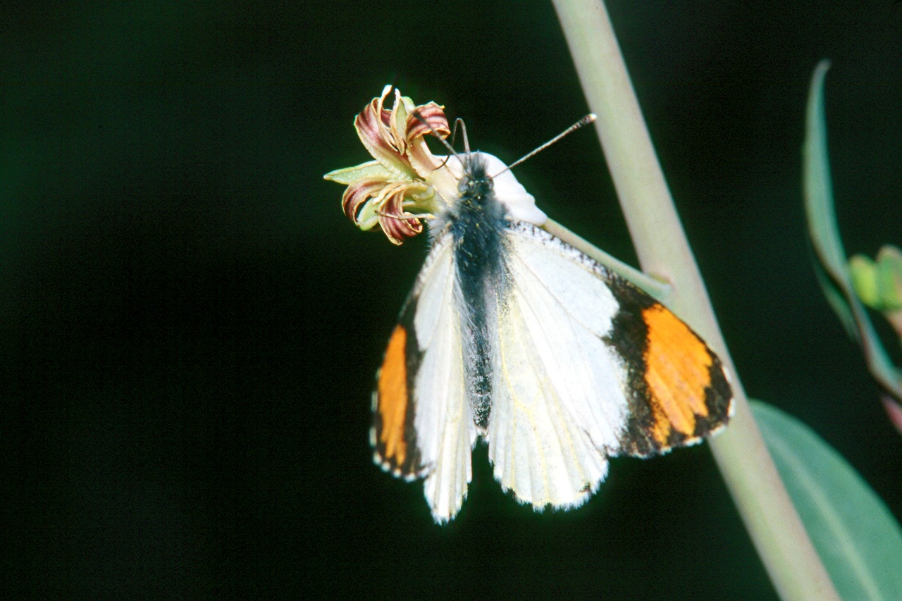 Sara Orangetip - Saguaro National Monument, Arizona