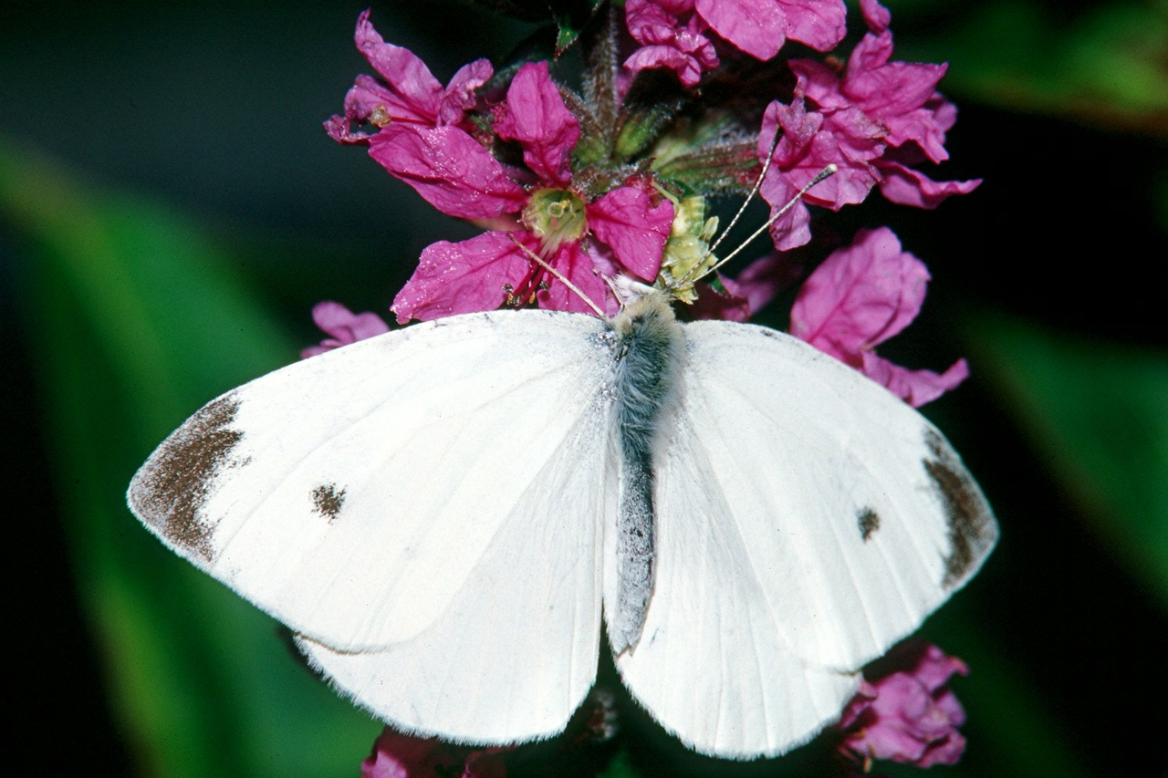 Cabbage White, male - South Park, Pennsylvania