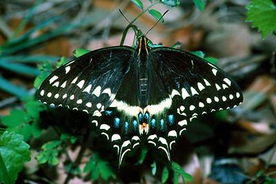 Palamedes Swallowtail - Davie, Florida