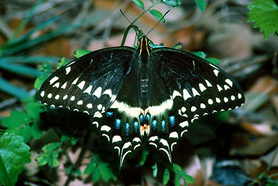Palamedes Swallowtail - Davie, Florida