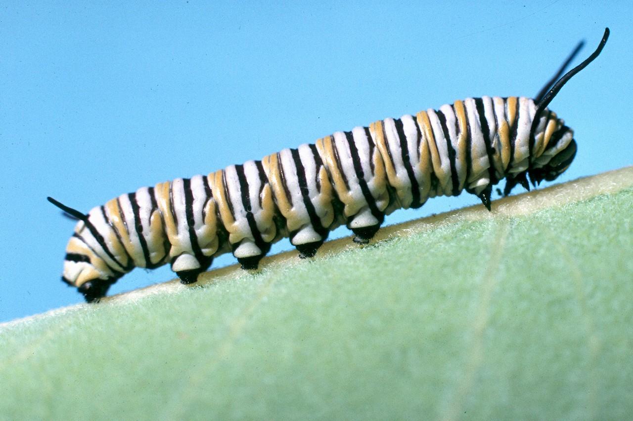 Monarch Caterpillar - South Park, Pennsylvania