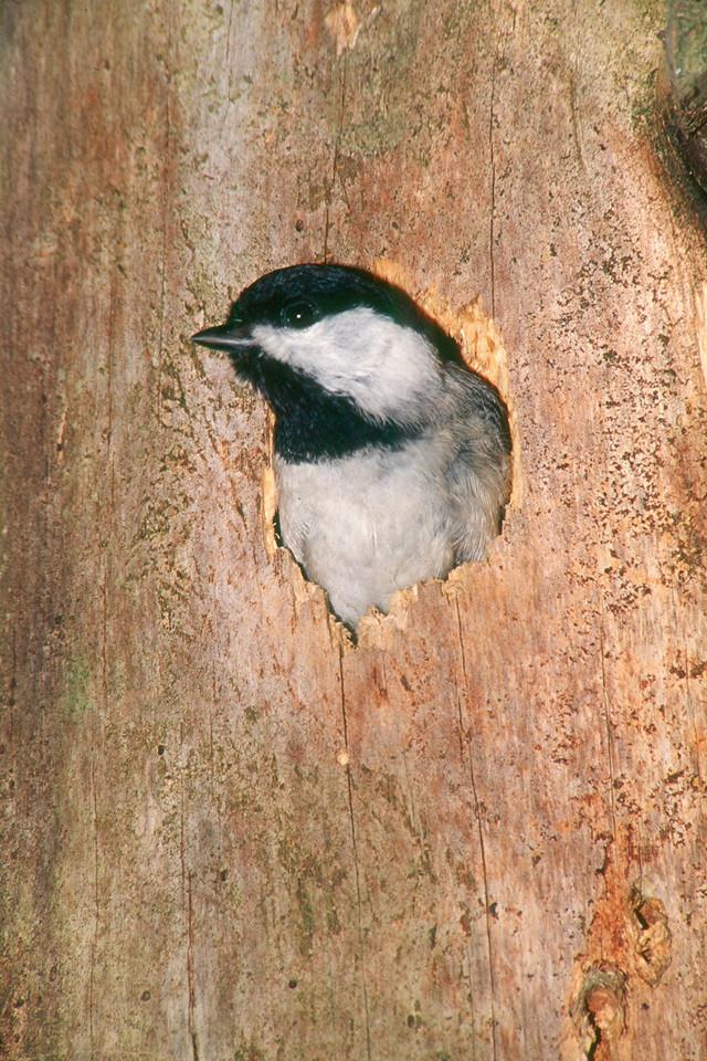Black-capped Chickadee in tree cavity - Pennsylvania