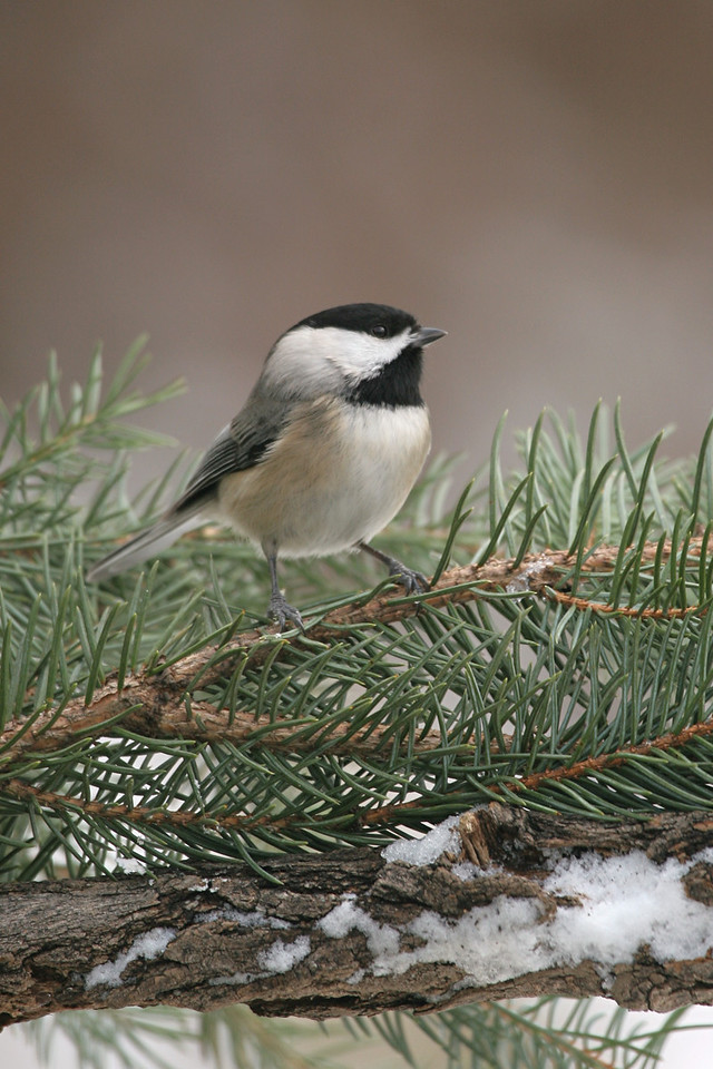 Black-capped Chickadee - Pennsylvania