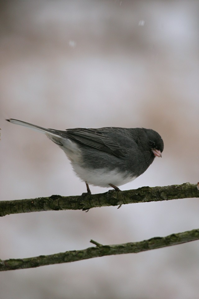 Dark-eyed Junco - Pennsylvania