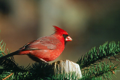 Northern Cardinal, male - Pennsylvania