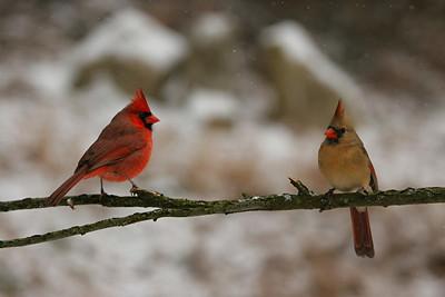 Northern Cardinals - Pennsylvania