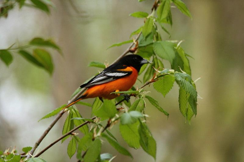 Baltimore Oriole, male - Pennsylvania