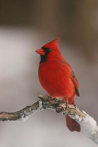 Northern Cardinal, male - Pennsylvania
