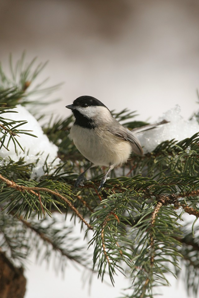 Black-capped Chickadee - Pennsylvania