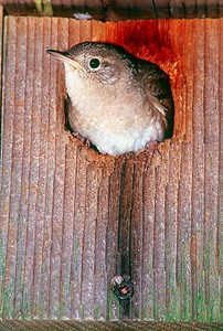 House Wren in nest box - Pennsylvania