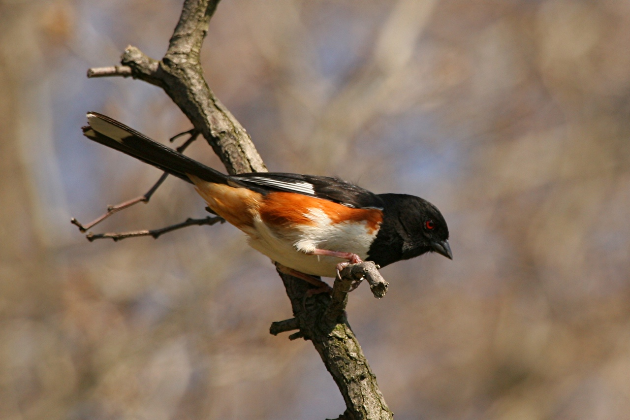 Eastern Towhee - Pennsylvania