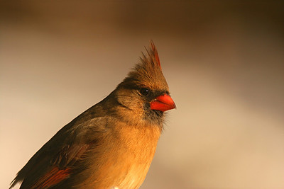 Northern Cardinal, female - Pennsylvania