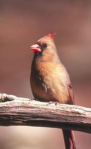 Northern Cardinal, female - Pennsylvania