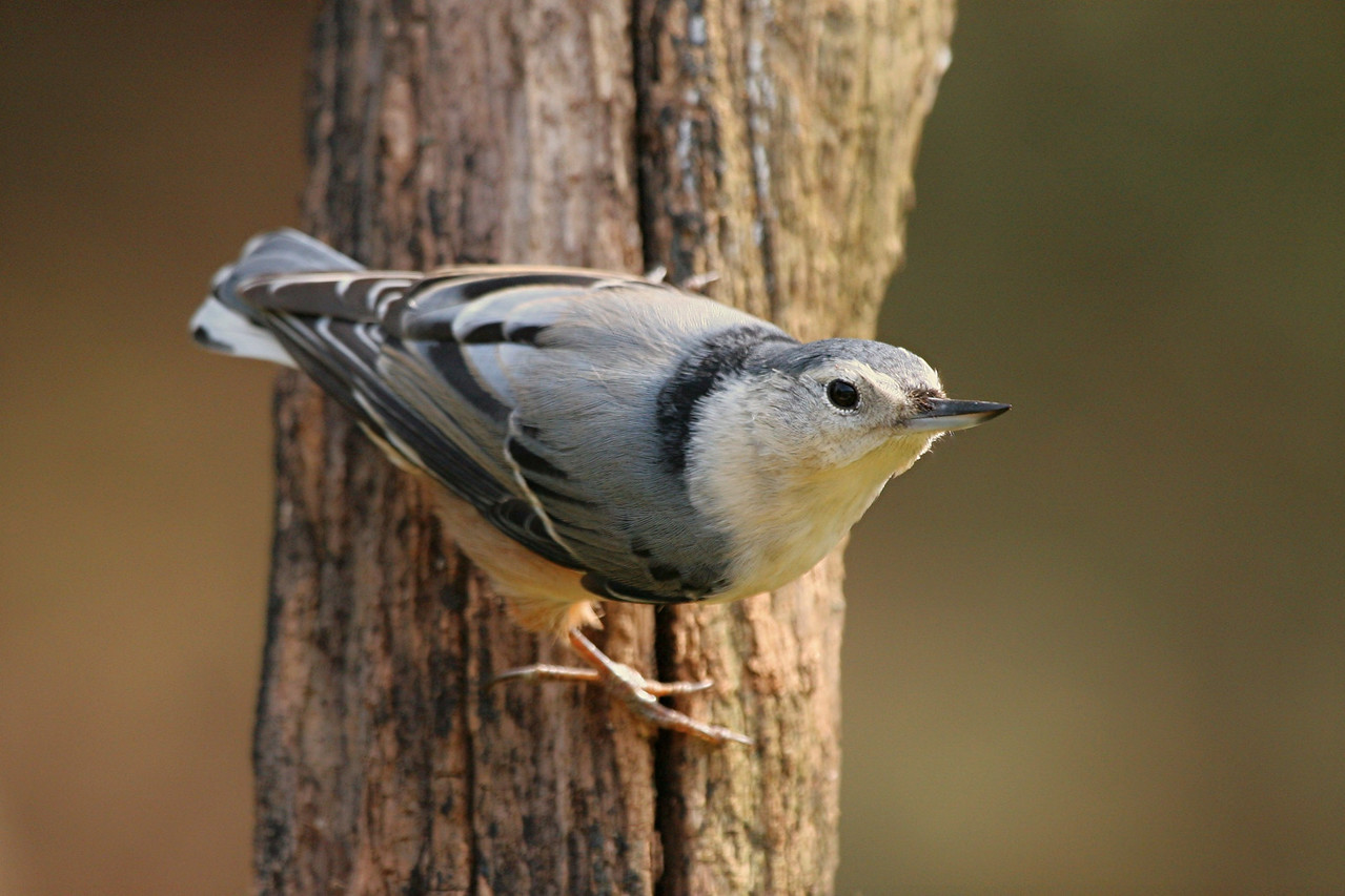 White-breasted Nuthatch, female - Pennsylvania