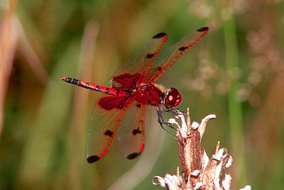 Calico Pennant - Ft. Indiantown Gap, Pennsylvania
