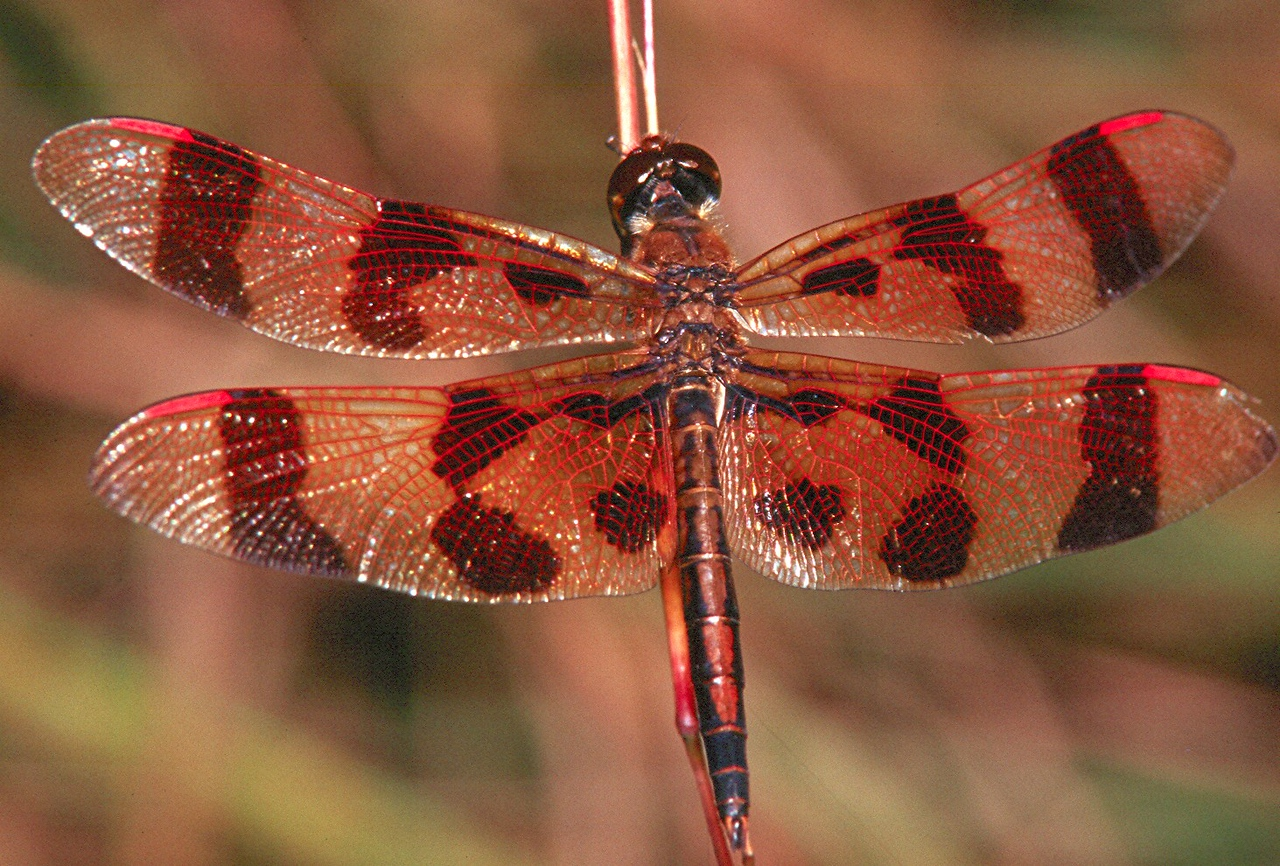 Halloween Pennant, male - Donegal Lake, Pennsylvania