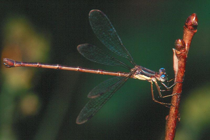 Common Spreadwing - Mingo Creek, Pennsylvania