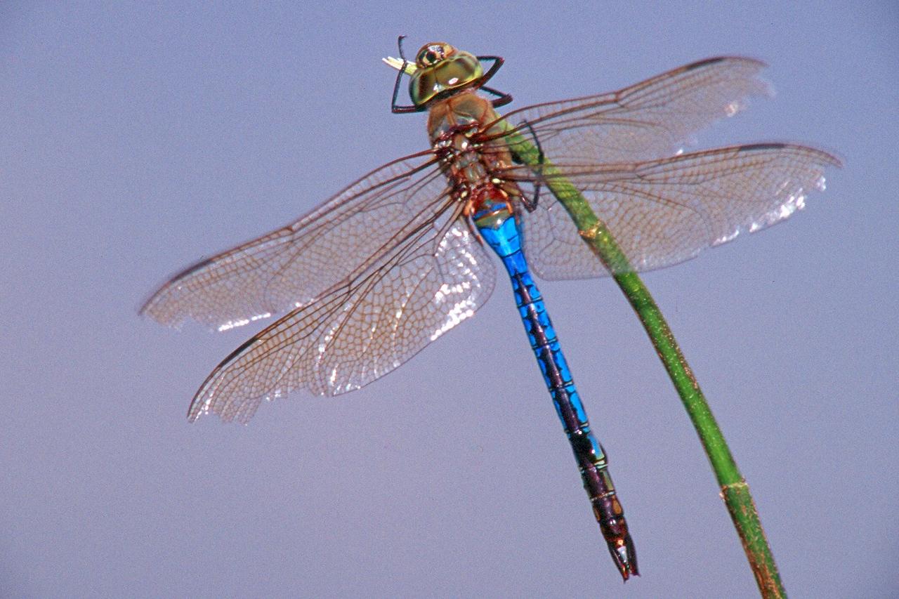 Common Green Darner, male - Peters Creek, Pennsylvania