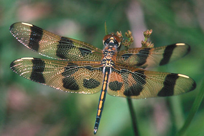 Halloween Pennant, female - Loxahatchee National Wildlife Refuge, Florida