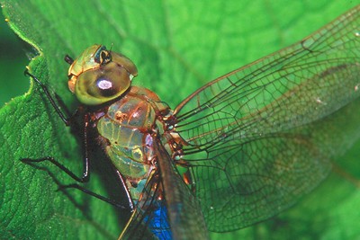 Common Green Darner, male - Buffalo Creek, Pennsylvania