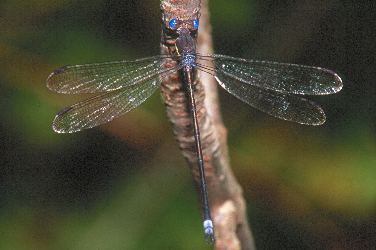 Great Spreadwing - South Park, Pennsylvania