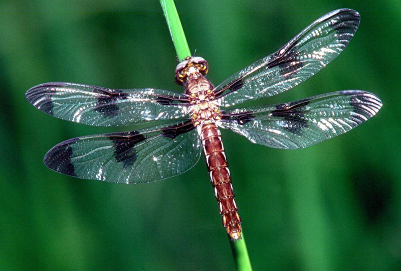 Twelve-spotted Skimmer, female - Buffalo Creek, Pennsylvania