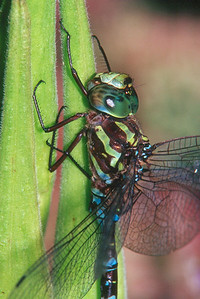 Green-striped Darner - Peters Creek, Pennsylvania