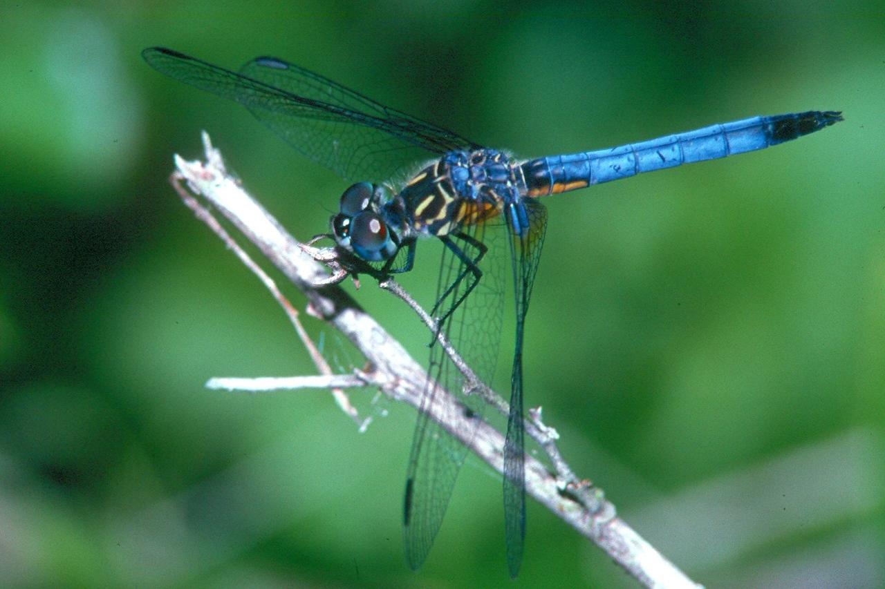 Blue Dasher, male - Loxahatchee national Wildlife refuge, Florida