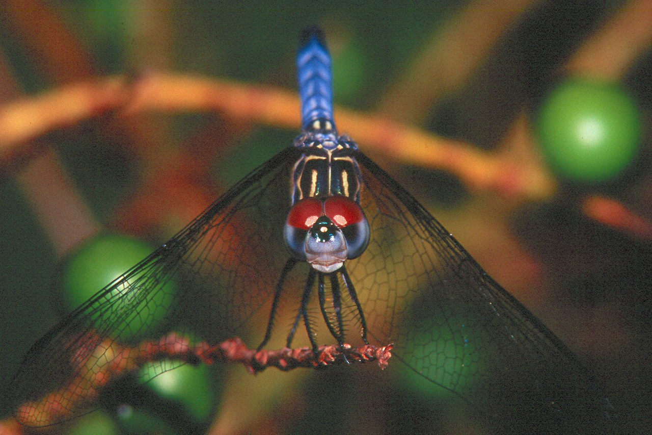 Blue Dasher, male - Everglades National Park, Florida