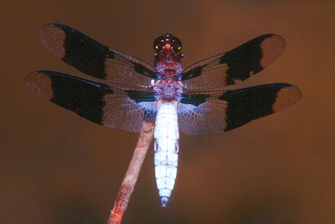 Common Whitetail, male - Peters Creek, Pennsylvania
