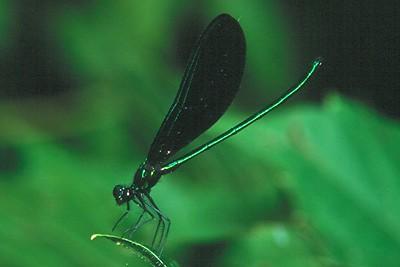 Ebony Jewelwing, male - Peters Creek, Pennsylvania
