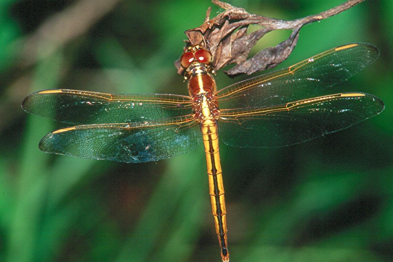 Needham's Skimmer, female - Everglades National Park, Florida