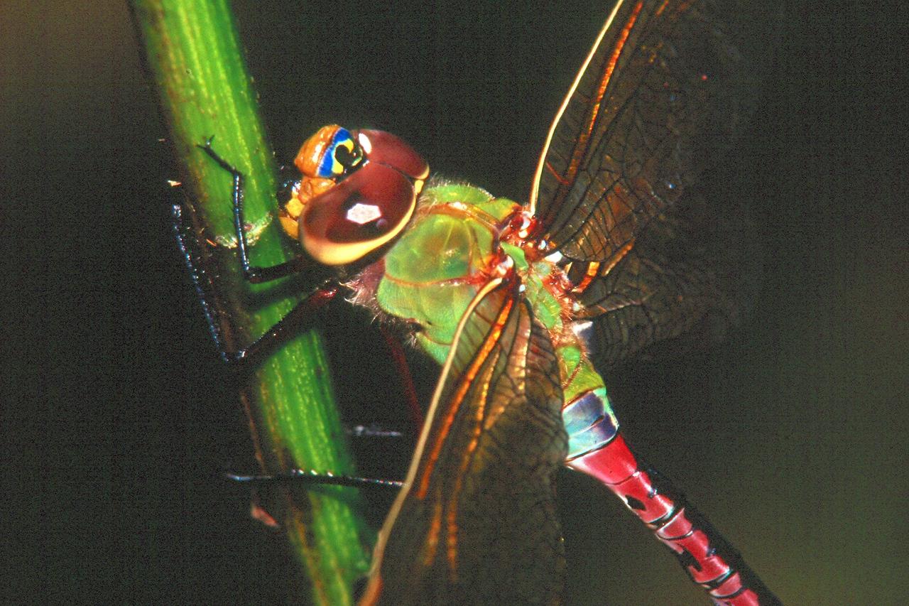 Common Green Darner, female - Donegal Lake, Pennsylvania