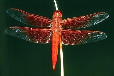 Flame Skimmer - Superior, Arizona