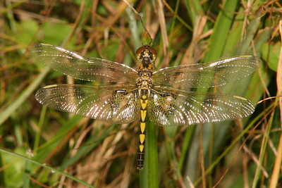Calico Pennant, female - Rector, Pennsylvania