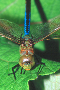 Common Green Darner, male - Buffalo Creek, Pennsylvania