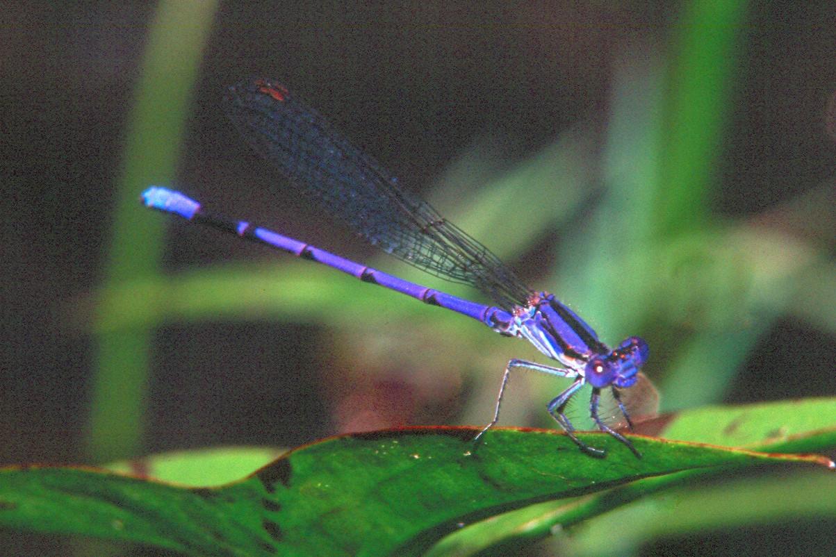 Violet Dancer - Peters Creek, Pennsylvania